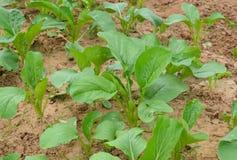 Chinese cabbage plantation Stock Image