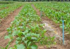 Chinese cabbage plantation Stock Photography