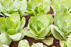 Chinese cabbage plantation Royalty Free Stock Photography