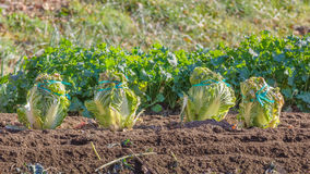 Chinese cabbage on a plantation field Royalty Free Stock Photos