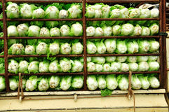 Chinese cabbage on the truck. Truck Chinese cabbage from the garden to sell at the market Royalty Free Stock Images