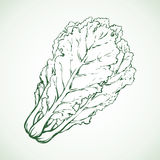 Chinese cabbage. Vector drawing Royalty Free Stock Images