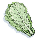 Chinese cabbage. Vector drawing Stock Photos