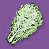 Chinese cabbage. Vector drawing Stock Photography