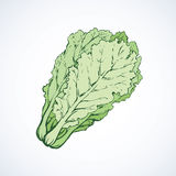 Chinese cabbage. Vector drawing Royalty Free Stock Photo