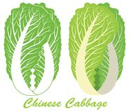 Chinese Cabbage. Vector illustration (EPS 10 Royalty Free Stock Photography