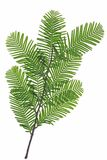 Chinese Californische sequoia Royalty-vrije Stock Foto