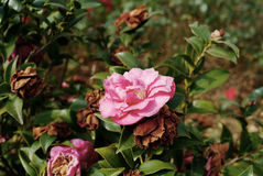 Chinese camelliae Royalty Free Stock Photography
