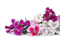 Chinese carnation flower (Dianthus chinensis) isolated on white Stock Photos