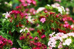 Chinese carnation in the garden. Flowering carnations Stock Photo