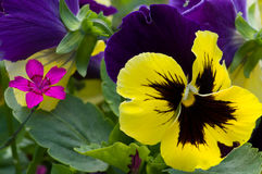 Chinese carnation and pansy Stock Photos