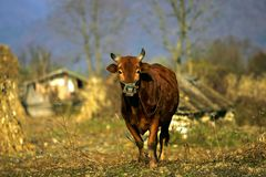 Chinese cattle Royalty Free Stock Images