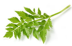 Chinese Celery Stock Photography