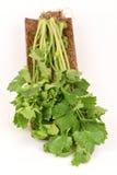 Chinese celery, Celery, Smaltage (Apium graveolens Linn.) Stock Image