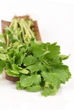 Chinese celery, Celery, Smaltage (Apium graveolens Linn.) Stock Photo