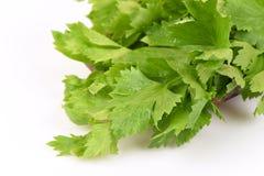 Chinese celery, Celery, Smaltage (Apium graveolens Linn.) Stock Photos