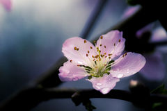 Chinese Cherry Blossom Stock Photo