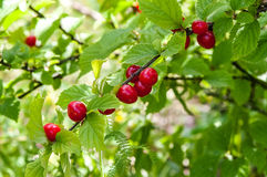 Chinese cherry on a branch royalty free stock image