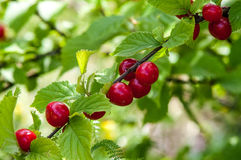 Chinese cherry on a branch Stock Image