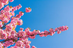 Chinese cherry tree Royalty Free Stock Photography