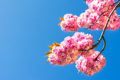 Chinese cherry tree Stock Photography
