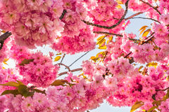 Chinese cherry tree Stock Photos