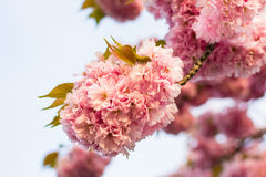 Chinese cherry tree Royalty Free Stock Photo