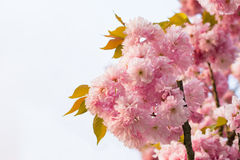 Chinese cherry tree Stock Image