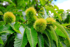 Chinese chestnut fruit close up with a green branch. KeriKeri, N Royalty Free Stock Image