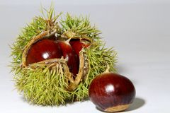 Chinese chestnut. A spiny plant Stock Images