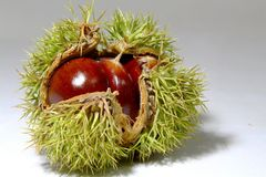 Chinese chestnut. A spiny plant Stock Photo