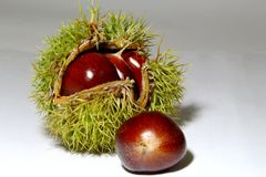 Chinese chestnut. A spiny plant Stock Photography