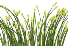 Chinese Chives flower Royalty Free Stock Photo