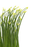 Chinese Chives flower Royalty Free Stock Photos