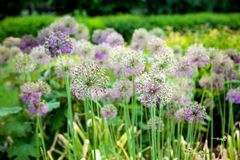 Chinese chives Royalty Free Stock Photos