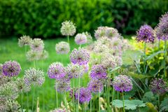 Chinese chives Royalty Free Stock Image