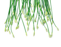 Chinese chives white background Stock Photos