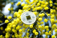 Chinese coin Chinese coin on the background of mimosa. Mimosa. Mimosa flowers. Yellow flowers. Spring flowers. A sprig of mimosa. stock image