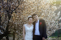 Chinese couple wedding portraint in front of cherry blossoms Stock Images