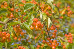 Chinese crabapple. Malus prunifolia, pear-leaf crabapple, plum-leaf crabapple, Chinese crabapple Royalty Free Stock Images