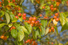Chinese crabapple. Malus prunifolia, pear-leaf crabapple, plum-leaf crabapple, Chinese crabapple Stock Photography