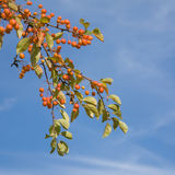 Chinese crabapple. Malus prunifolia, pear-leaf crabapple, plum-leaf crabapple, Chinese crabapple Stock Images