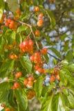 Chinese crabapple. Malus prunifolia, pear-leaf crabapple, plum-leaf crabapple, Chinese crabapple Stock Image