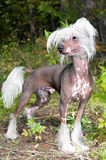Chinese crested. Dog of breed Chinese crested Stock Photo