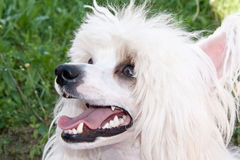 Chinese Crested  breed dog. Closeup Royalty Free Stock Photo