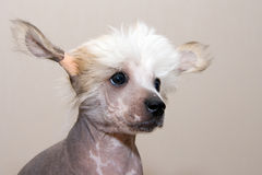 Chinese Crested  breed puppy Stock Photography
