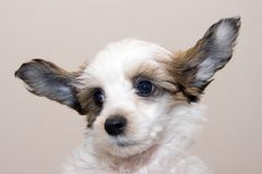 Chinese Crested  breed puppy Stock Photos