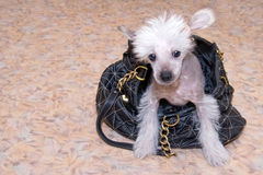 Chinese Crested breed puppy. Closeup portrait with handbag Royalty Free Stock Photos