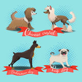 Chinese crested, chinese crested powder puff, pug dog, doberman dog. Cartoon different dog breed set. Chinese crested, chinese crested powder puff, pug dog Stock Photos