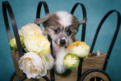 Chinese crested cute puppy sitting in a cart with flowers. Chinese crested cute puppy sitting in a cart with yellow flowers Stock Image